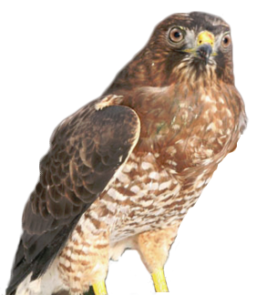 one-winged hawk